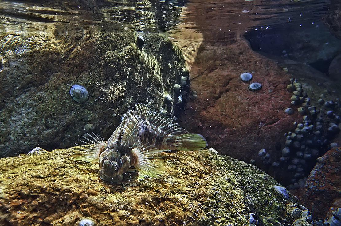 """Удалось поймать момент, когда Рыбка выдвинула """"губы"""", чтобы слизать вкусняшку с коралла. Делала она это стремительно, как будто """"выстреливала"""", вид у нее при этом был весьма комичный и сосредоточенный.Размер Рыбки около 10 сантиметров. Рыба- Собачка, Красное море"""
