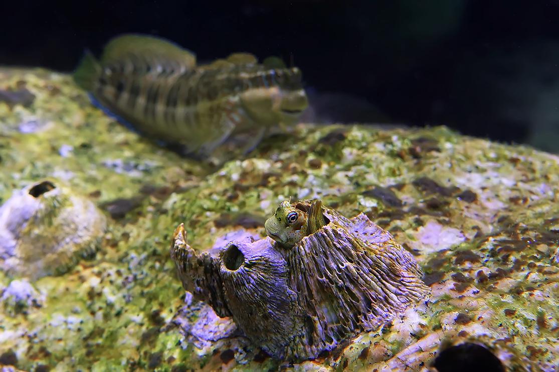 Малёк Рыбы- Собачки облюбовал Морской Желудь (Балянус) для своего домика.Голова Малютки не больше сантиметра. Размер мамы 12-15 сантиметров.Рыба- Собачка, Красное море