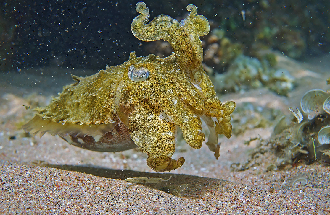 Размер Каракатицы около 20 сантиметров. Снято на глубине трех метров.Фараонова Каракатица, Красное море