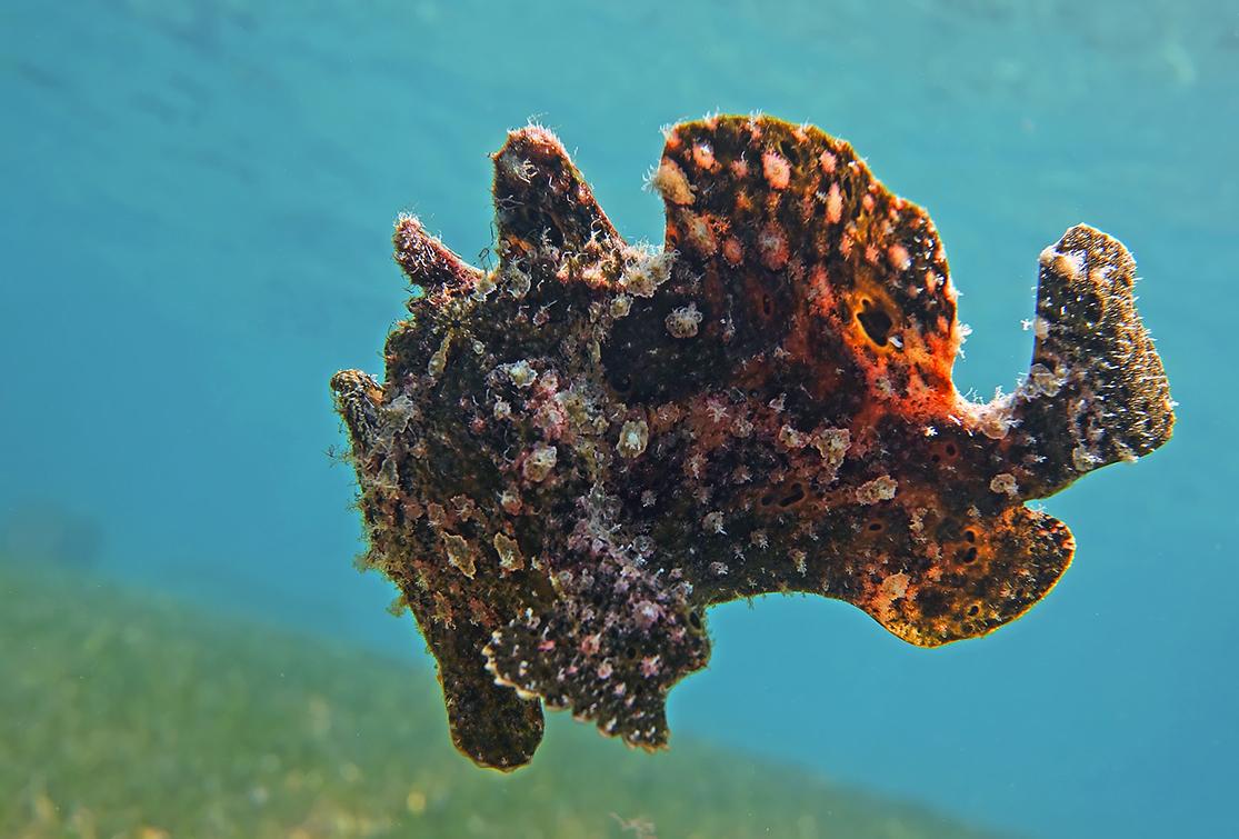 Таитийская Бородавчатая Рыба-Клоун, Красное море