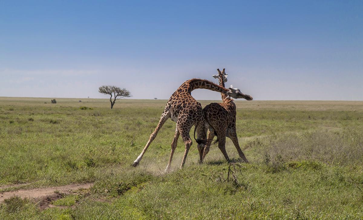 Жирафы занимают 3 место в животном мире по жестокости поединков между собой,Ударами головы они дерутся до крови,нередко ломают шейные позвонки.