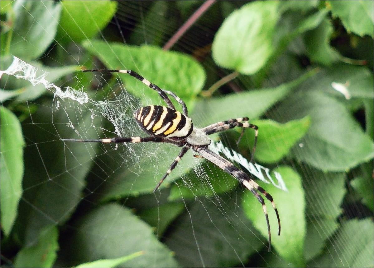 Аргиопа Брюнниха, или паук-оса(лат. Argiope bruennichi)...