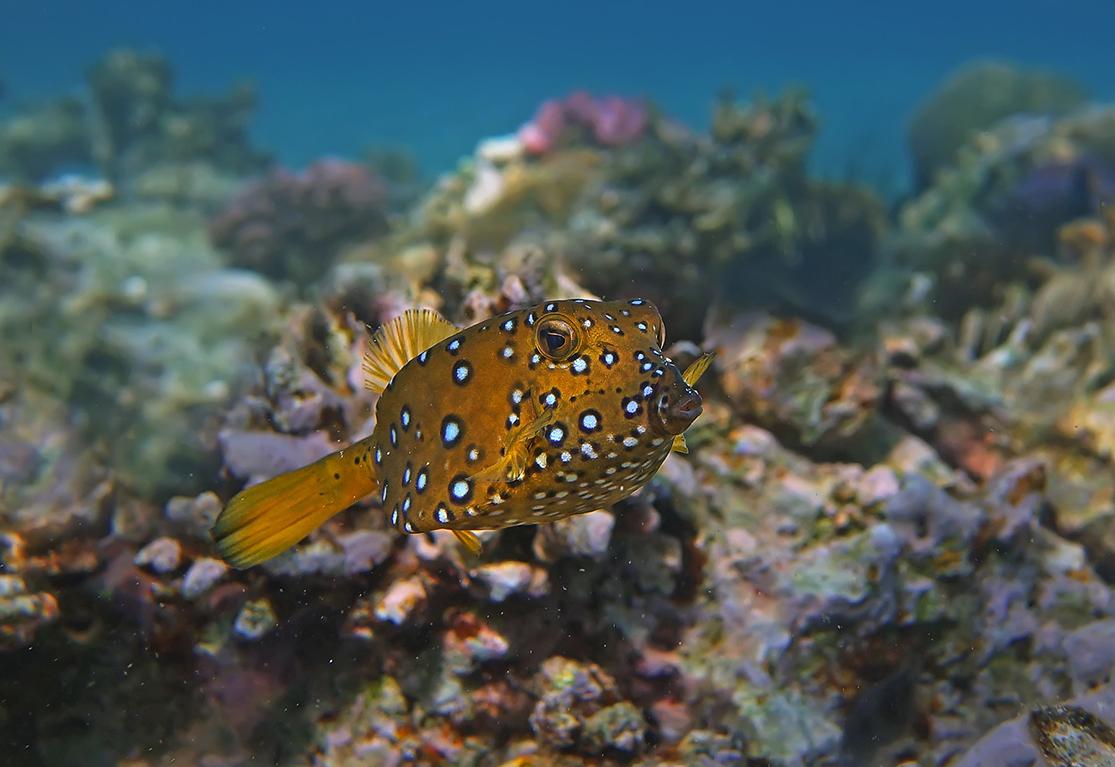 Размер Рыбки около 10 сантиметров. Снято на глубине четырех метров.Жемчужный Кузовок- Кубик, Красное море
