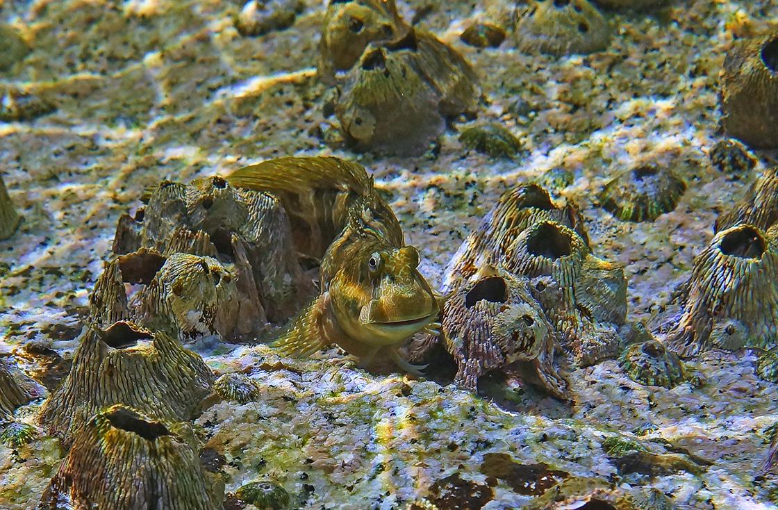 Размер Рыбы- Собачки около 10 сантиметров. Снято на коралле,  обросшем Морским Желудем (Балянус),достаточно близко к поверхности моря, при сильном волнении.Рыба- Собачка, Морской Желудь (Балянус), Красное море