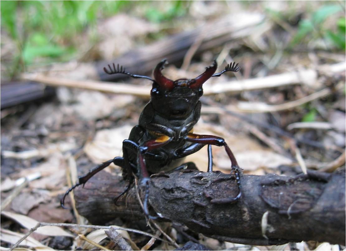 Жук-олень(лат. Lucanus cervus) — крупный жук из рода Lucanus в составе семейства рогачей...
