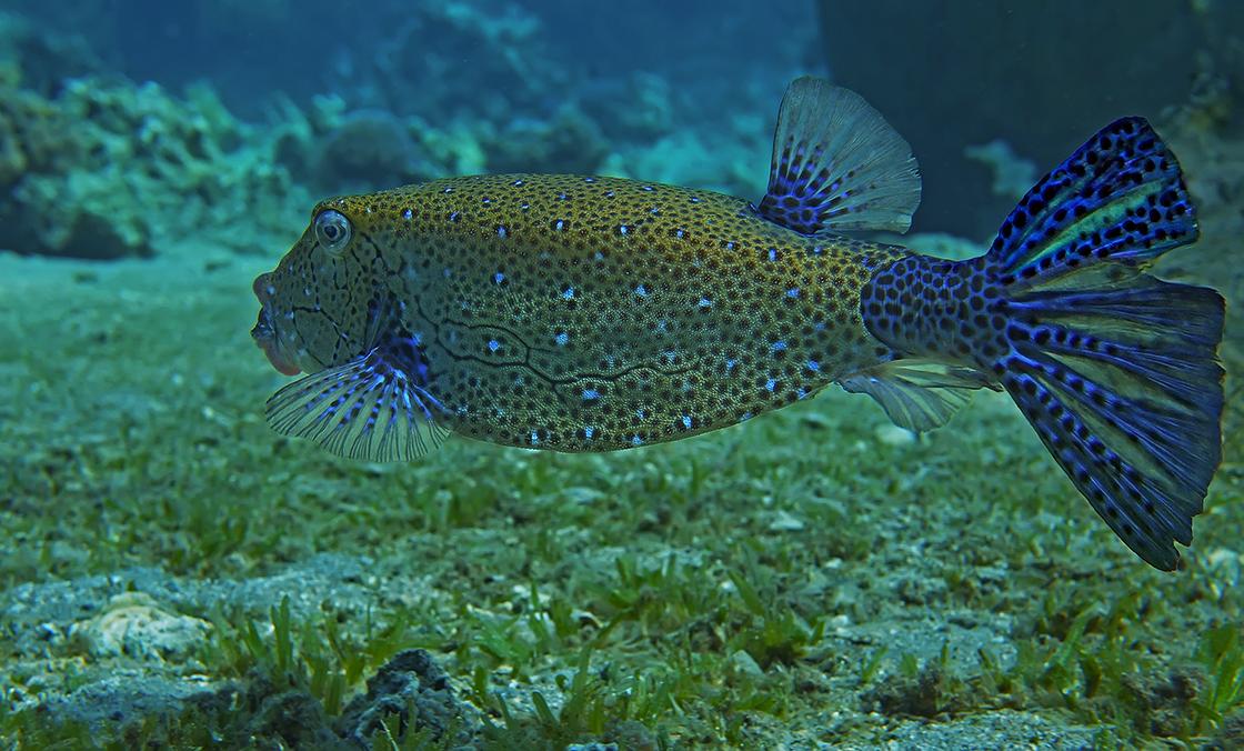 Кузовок- Кубик. Размер Рыбки около 30 сантиметров.Снято на глубине трех метров.Красное море