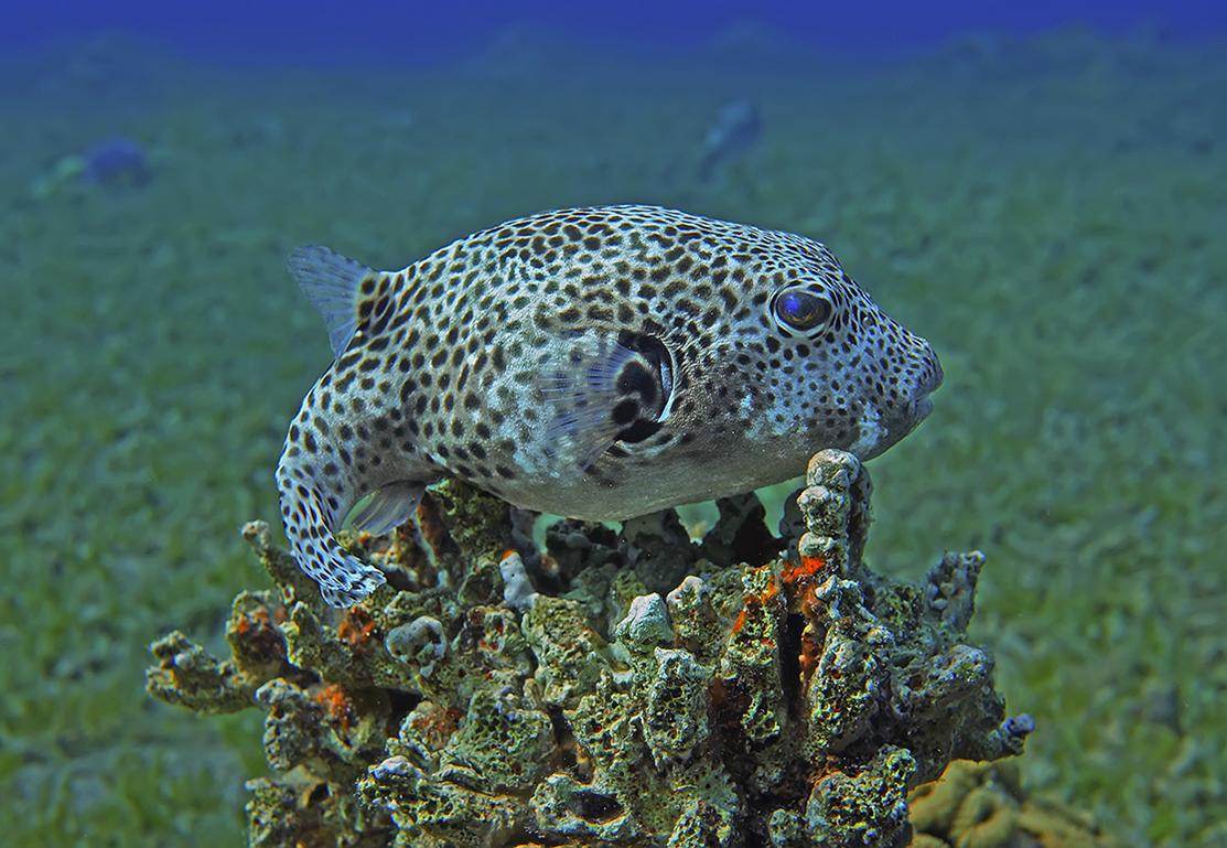 Размер Малыша около 15 сантиметров. Снято на глубине трех метров.Колючий Аротрон (детёныш), Красное море
