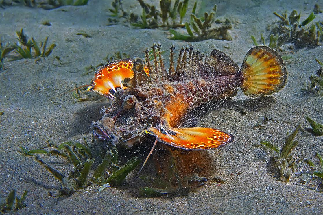 Приближение фотографа Бородавчатке явно не понравилось:она грозно распуширила плавники- крылья и стала закапываться в песок:https://content-18.foto.my.mail.ru/mail/mvmil56/11434/b-11481.jpgНитепёрая Бородавчатка, Красное море