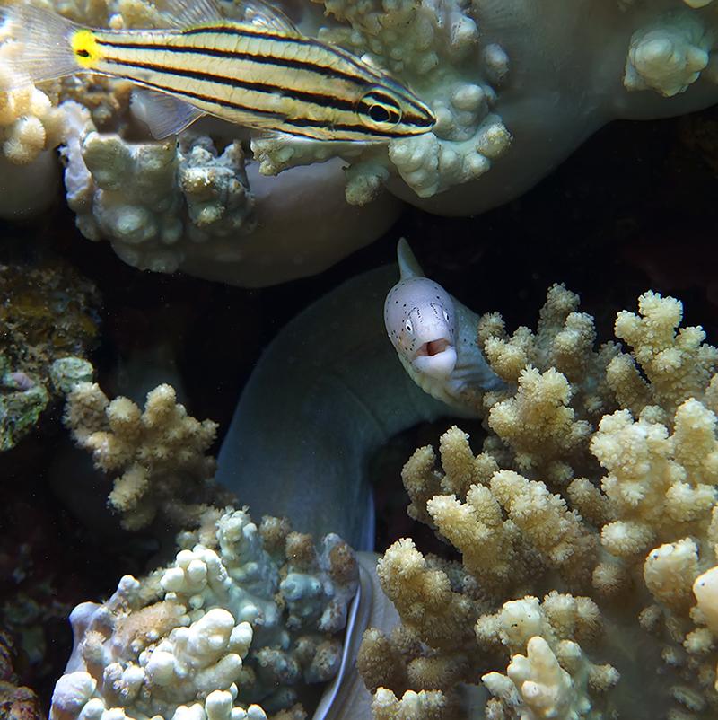 Мурена Перечная, Пятилинейный ХилодиптерКрасное море