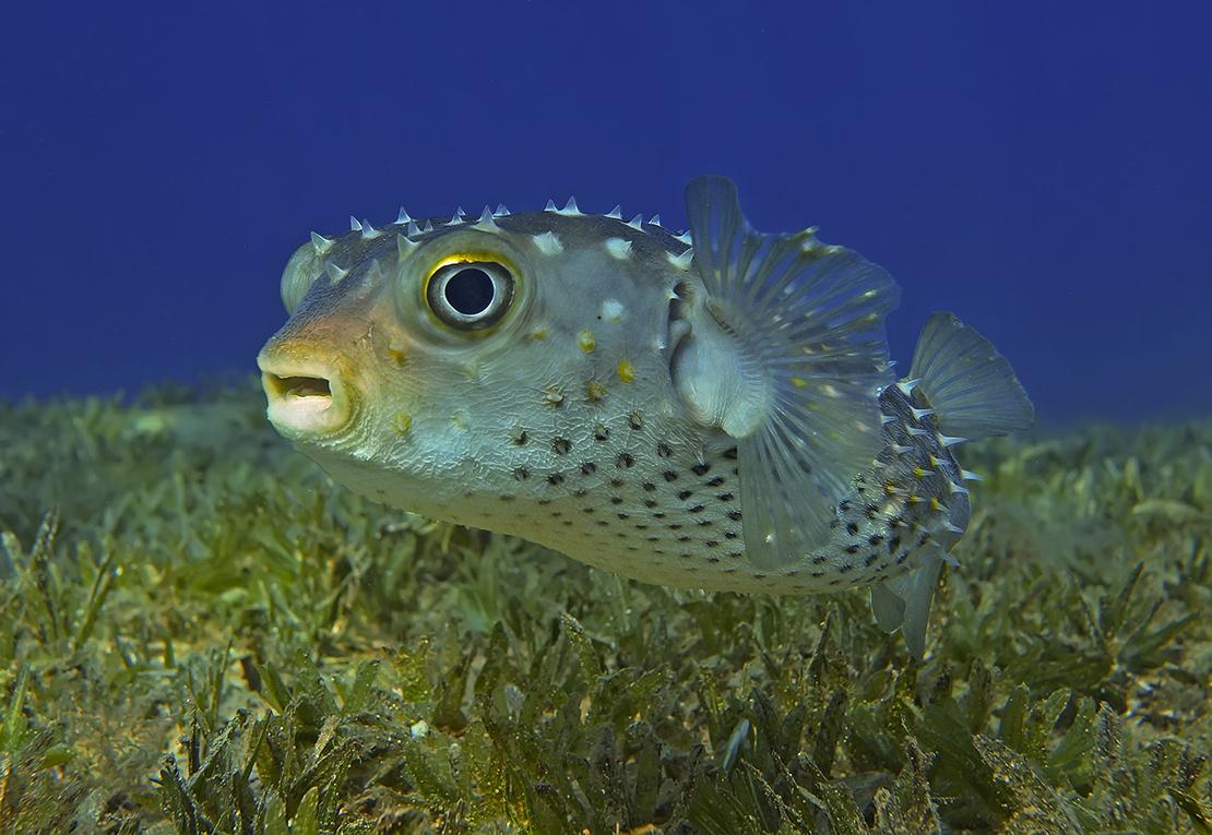 Размер Рыбки около полуметра, снято на глубине четырех метров.Желтопятнистый Циклихт, Красное море
