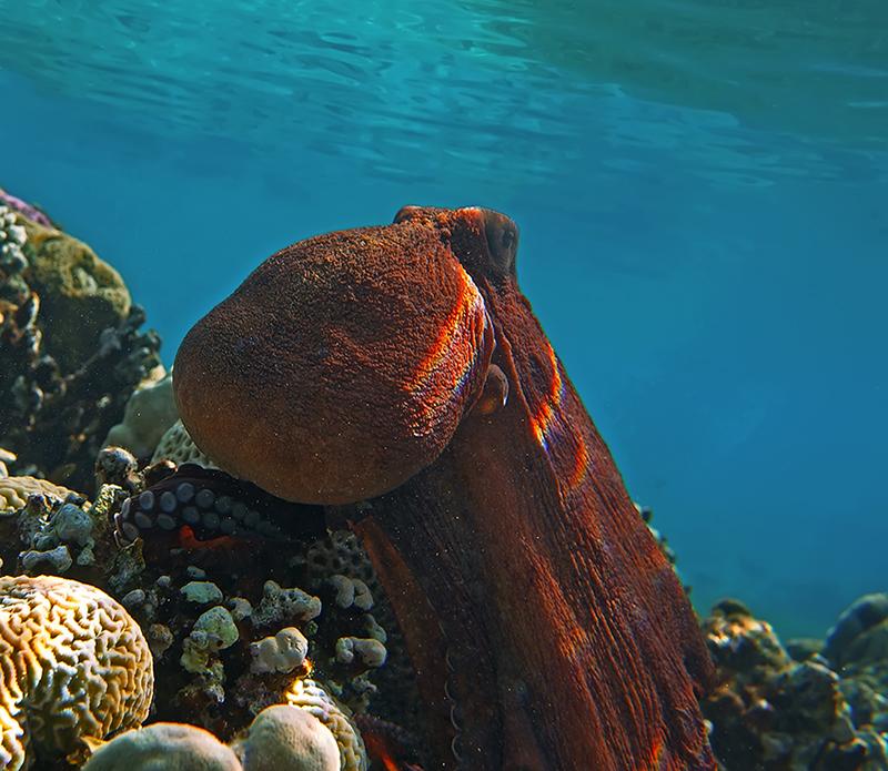 Осьминог, Красное море