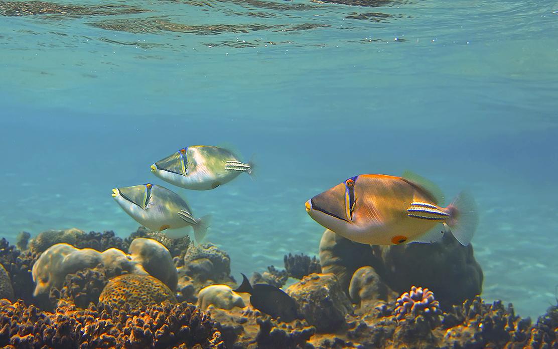 Спинорог Пикассо, Красное море