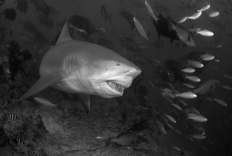 Бычья акула. Фиджи