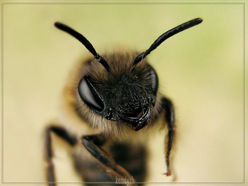 макро пчела портрет