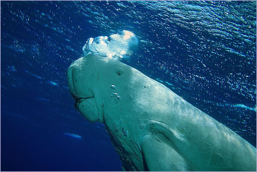 Египет, Красное море, июнь  2007. Дюгонь (Dugong dugon), родственник Ламантинов из семейства Сирен.