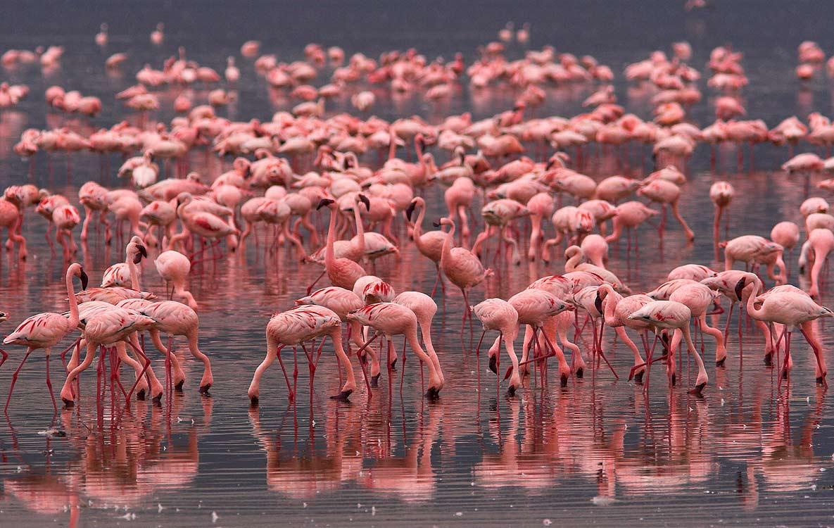 Розовые фламинго на оз Накуру, Кения