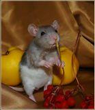 Крысенок, откатив большую зеленую грушу, занял ее место.