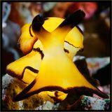 Голожаберный моллюск.Ночное макро на Папуа