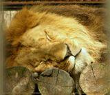 Лев в Новосибирском зоопарке
