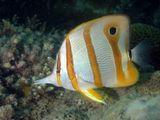 Copperband butterflyfish, Бронзовополосая рыба-бабочка,  Chelmon rostratus,  Chaetodon rostratus  Вот сколько имен у этой рыбки ;)  снято в южно-китайском море, близ острова Koh Rong Saloem (Камбоджа)