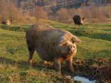 """Раньше, в горах на этих полях росли виноградники. А потом, объвили """"сухой закон"""", и их вырубили. Странный способ борьбы с алкоголизмом, но ИМ виднее. Теперь здесь ничего не растет, зато пасутся свинки, лошади и бычки. Забавные животные."""