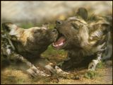 African wild dog mating game during spring season is unbelievable watch... Limpopo, South Africa