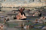 Танзанийские бегемотики. Серенгети
