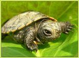 Мелкая черепашка, около 2,5 см. Выловлена в начале мая в ближайшем водоёме :))