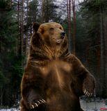МЕДВЕДЬ БУРЫЙ (Ursus arctos) Внешний вид этого огромного зверя настолько хорошо известен, что нетнужды его описывать. Несмотря на усиленную охоту, до сих пор встречаются медведи массой до 750 кг,при длине тела 2,5 м; встав на дыбы, такие гиганты достигают 3 м. Наибольшими размерами отличаютсямедведи с Дальнего Востока, Камчатки и особенно с Аляски и острова Кадьяк. где их называют гризли