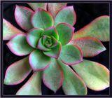 """По-моему, это одна из разновиднстей эйхиверии. В народе """"каменная роза""""... Очень симпатичное растение, если приглядеться..."""