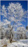 Снимок сделан на берегу реки Бурея, что в Амурской области.  Небо наше бездонное и синее-синее, а иней белый-белый. Приятного просмотра!
