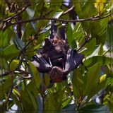 Летучая лисица в мангровых лесах Вьетнама