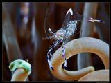Актиниевые креветки(Anemone partner shrimp). Размер взрослой особи до2,5см