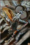 Жук-афодий чуть зазевался - и тут же стал добычей для ктыря1/200,F11макро муха ктырь