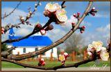 27.03.08. Цветёт абрикос.