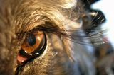 Ресницы моей любимой собачки Чунечки. Это еще не вся их длинна! Их нам постоянно кромсают при стрижке! :(