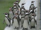 """Мангейм. Луизенпарк.Здесь пингвинов кормят 1 раз в сутки - в 13.00. Мы  попали  туда как раз за несколько минут до кормления. Пингвины """"построились"""" для принятия пищи."""
