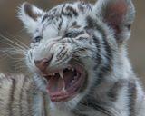 белый тигренок. ухо обрезано специально. как лучше смотрится ихмо