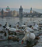 Прага! Лебеди! Зима!