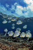 *иногда есть вода...Стая Бэт-фишей на мелководье.о. Сипадан, Coral Gardens.