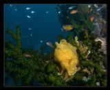 Фрог-фиш на коралле, сев.Сулавеси, Индонезия