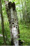 издали подумал, что кто-то пострелял в свое удовольствие (у нас в лесу такое бывает) - подошел ближе - а это лесной трудяга постарался...