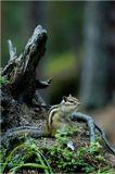 бурундук грызун фотоохота животное