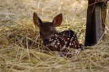 Редкий вид оленя - олень гнездовой. Родители-олени мастерят на открытых пространствах гнёзда из старой травы и выращивают в них потомство. А потом потомство улетает в теплые страны.