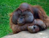 Орангутан, калимантанский подвид (Pongo pygmaeus pygmaeus). Обитает в Индонезии, на острове Калимантан (Борнео). Близкий родственник человека, в некотором роде - кузен.Снято в Московском зоопарке.Это матерый самец, вожак. В то время как его семья, состоящая из двух самок и детеныша-подростка, на все лады развлекала публику, он сохранял достоинство: неподвижно сидел с отсутствующим видом и лишь изредка бросал на людей презрительный взгляд...