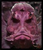 Rhinopias eschmeyeri(Rhino-fish)В Кении не удалось повстречать носорога, в Индонезии повезло больше.