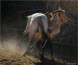 """В национальном природном парке """"Алтын Эмель"""" (Казахстан) пытаются возродить популяцию лошадей Пржевальского, которые некогда здесь обитали, а затем исчезли. В апреле сюда привезли шесть особей из Мюнхенского зоопарка, которых сейчас приучают к дикой природе. В отличие от домашних, эти лошадки во время игр стараются укусить друг друга за холку и ноги - чисто собаки. Как бы то ни было, если животное играет - значит, оно сыто и здорово."""