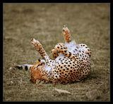 Кения. гепард