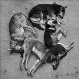 """В Москве сейчас насчитывается порядка 26 тысяч бездомных собак - такие данные предоставил Институт проблем экологии и эволюции имени Северцова. По другим данным, численность бездомных животных может достигать в Москве 60, а то и 100 тысяч особей.(C) """"Радио России"""""""