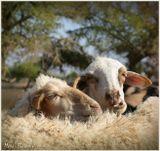 Очень люблю это фото... )))Прелюдия марокканских овец :-)***Любовь, нежность, страсть, Марокко, овца, поцелуй, день святого валентина